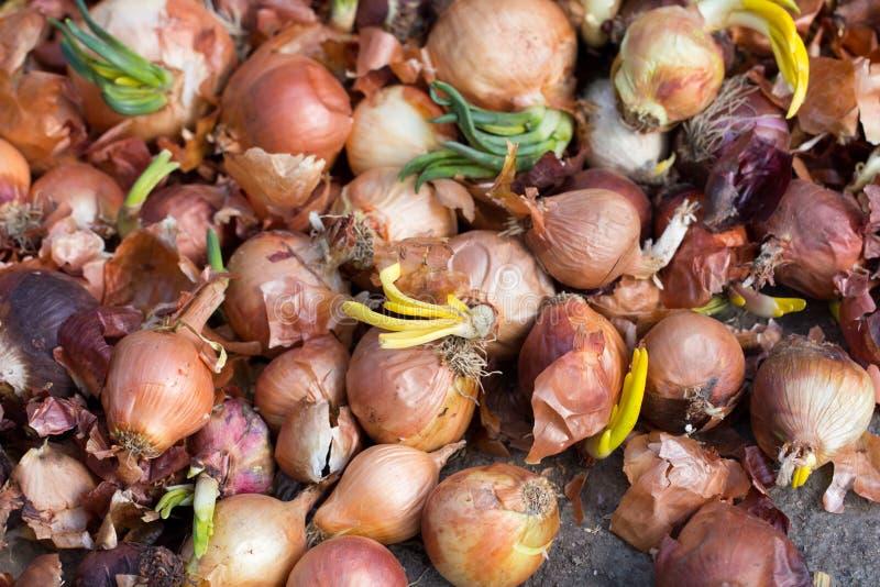 Vieux oignons de germination photographie stock