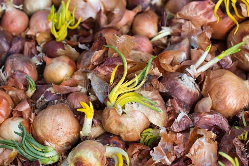 Vieux oignons de germination photos libres de droits