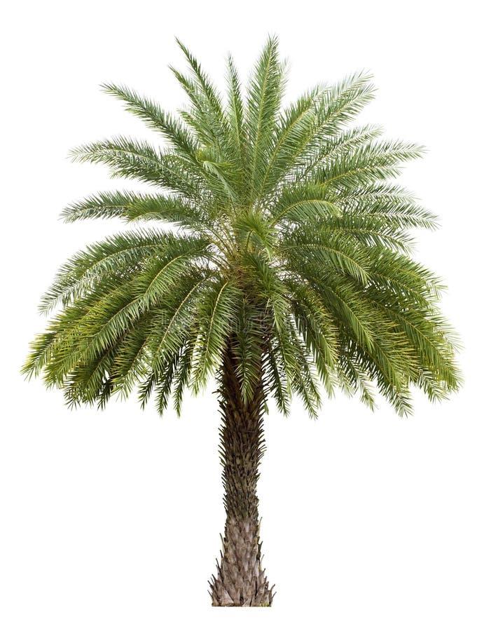 Vieux palmier de date d'isolement sur le blanc images stock