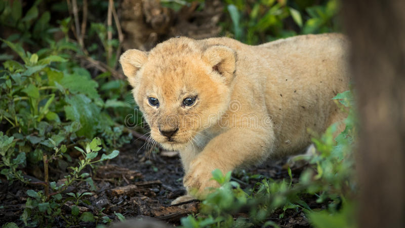 vieux petit animal de lion de 5 semaines, Serengeti, Tanzanie images stock
