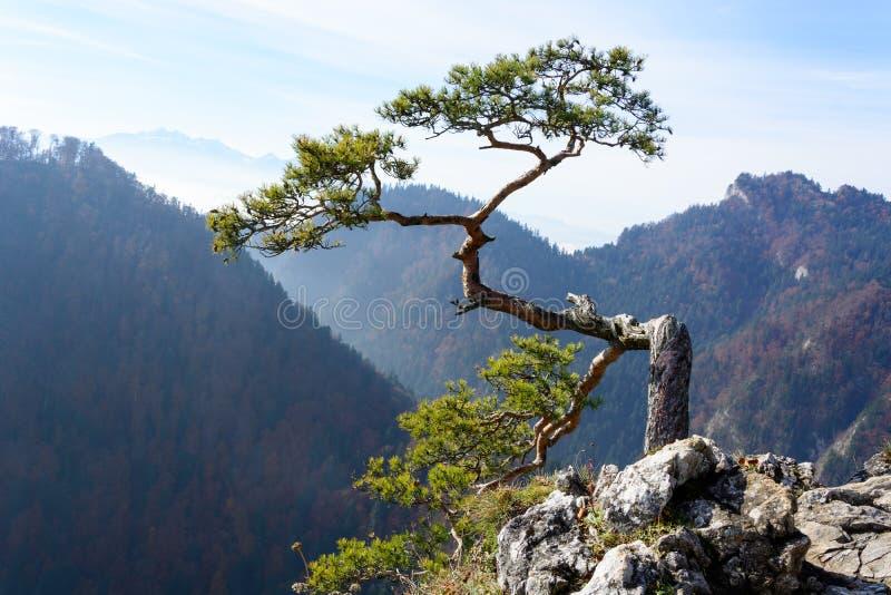 Vieux pin de relique sur la montagne de Sokolica photos libres de droits