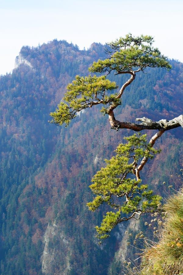 Vieux pin de relique sur la montagne de Sokolica photographie stock libre de droits