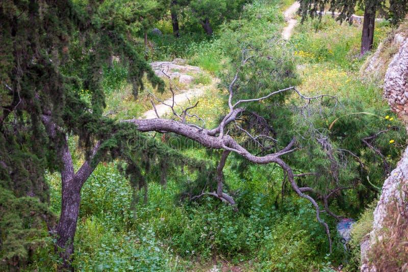 Vieux pin incurvé et tordu à Athènes photos stock
