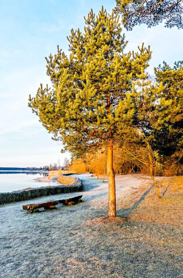 Vieux pin seul près d'une rivière au lever de soleil photographie stock