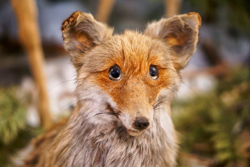 Vieux renard rouge bourré Plan rapproché Rappelle un animal lapidé photo stock
