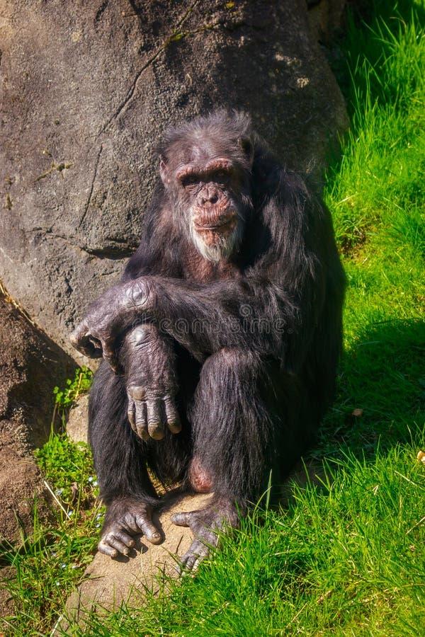 Vieux repos de chimpanzé photographie stock libre de droits