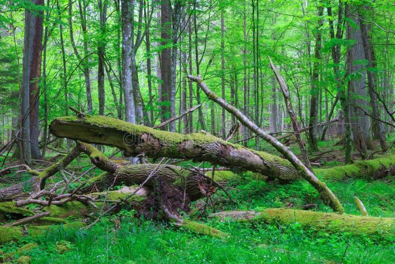 Vieux se situer cassé d'arbre de cendre dans la forêt de springrtime image libre de droits
