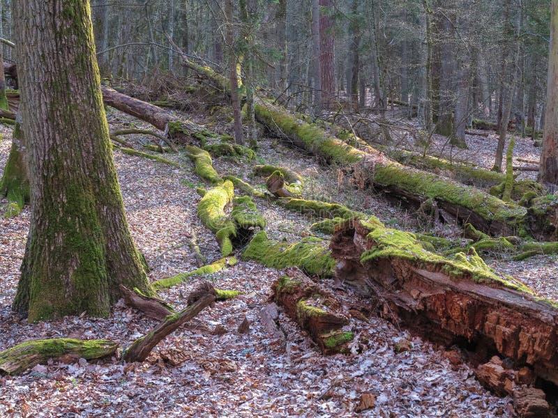 Vieux support à feuilles caduques de printemps photos libres de droits