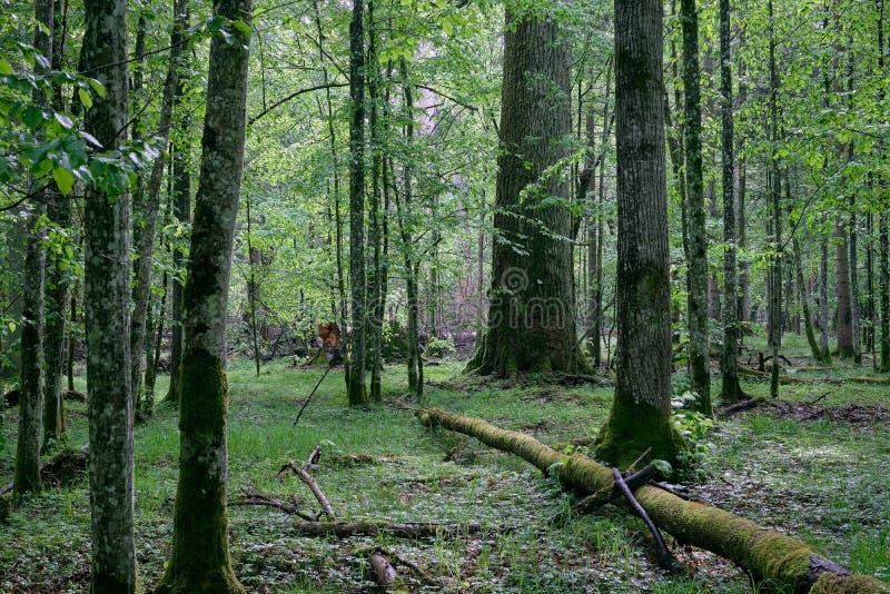 Vieux support à feuilles caduques naturel au printemps image libre de droits