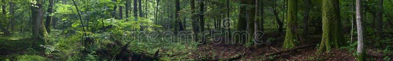 Vieux support riche d'été de forêt de Bialowieza photographie stock libre de droits