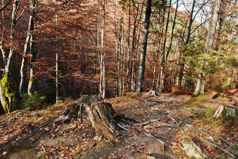 Vieux tronçon avec des racines sur la forêt d'automne photos libres de droits