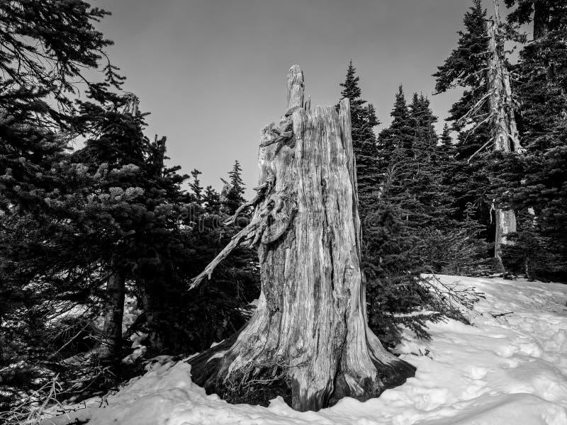 Vieux tronçon d'arbre en noir et blanc photo stock