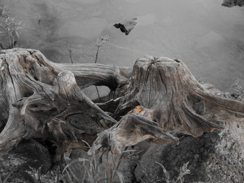 Vieux tronçon d'arbre inextricable par le lac photos libres de droits