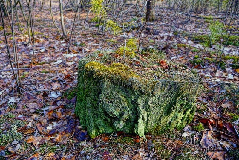 Vieux tronçon vert dans la mousse dans la forêt d'automne image stock
