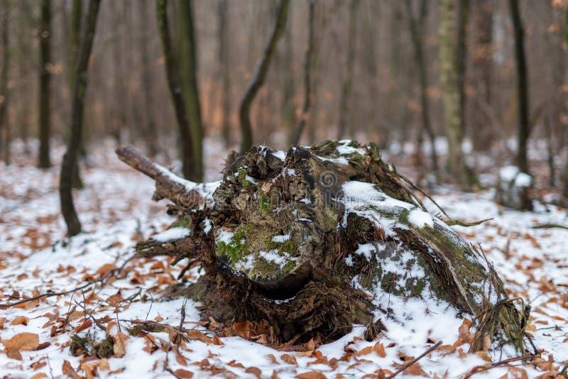 vieux tronc d'arbre putréfié Coupez l'arbre couvert de neige photographie stock libre de droits
