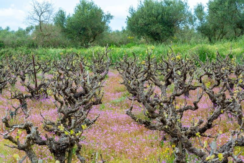 Vieux troncs et jeunes pousses vertes des usines de raisin de cuve dans les rangées en fleurs sauvages de vignoble et de ressort image libre de droits