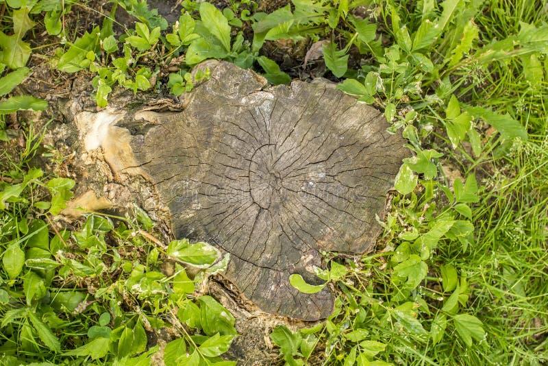 Vieux un tronçon d'arbre avec des anneaux de croissance dans le trèfle et le gre de fleurs images libres de droits