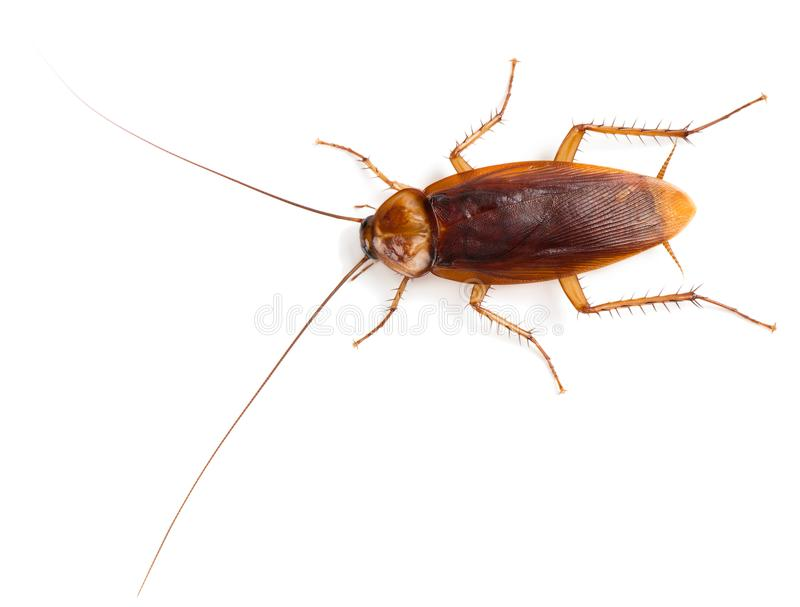 View from above of American cockroach. royalty free stock photography