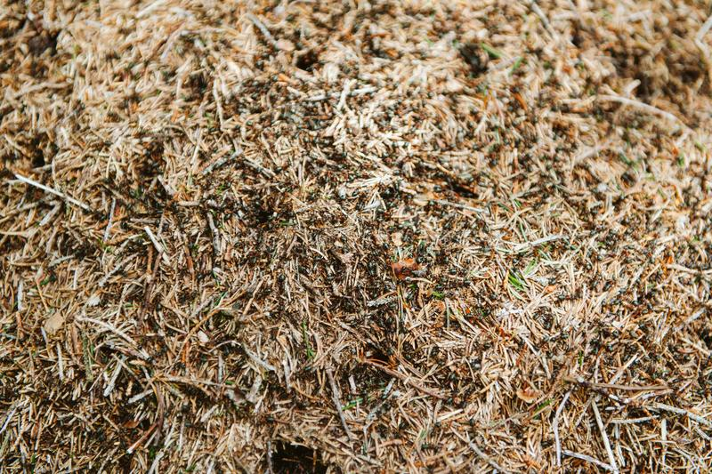 View from above of anthill with large group of insect workers stock images