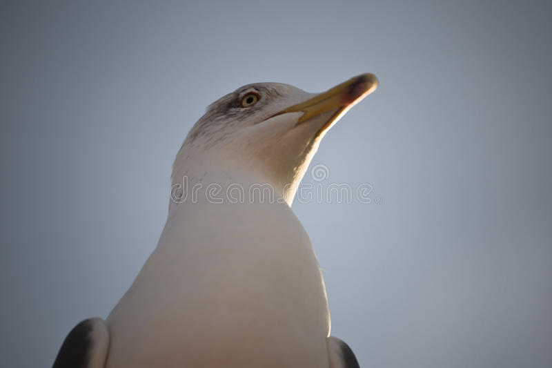 View above on friendly cute seagull in sunrise royalty free stock photos