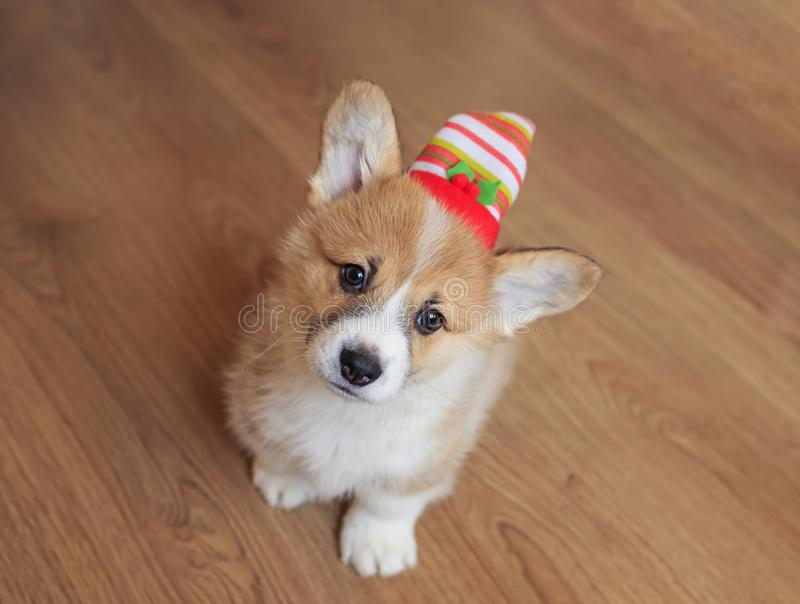 View from above on a funny home puppy in a festive striped christmas hat sitting on the floor and looking up. View from above on a cute funny home puppy in a stock images