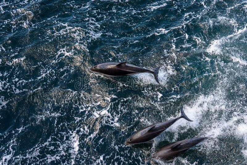 View from above of three dolphins playing, jumping out of the water and diving back in, Beagle Channel, Argentina stock image