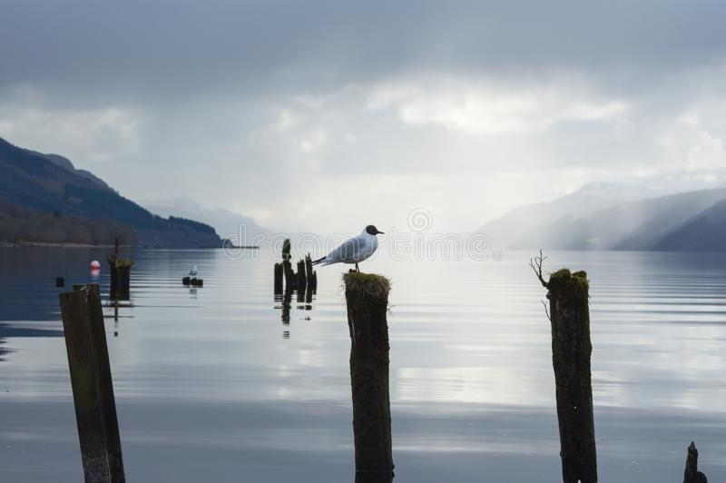 A view across Loch Ness with a lone seagull standing on a piece of wood, and the length of the lake in the background. And dark clouds above, in Scotland, UK stock photography