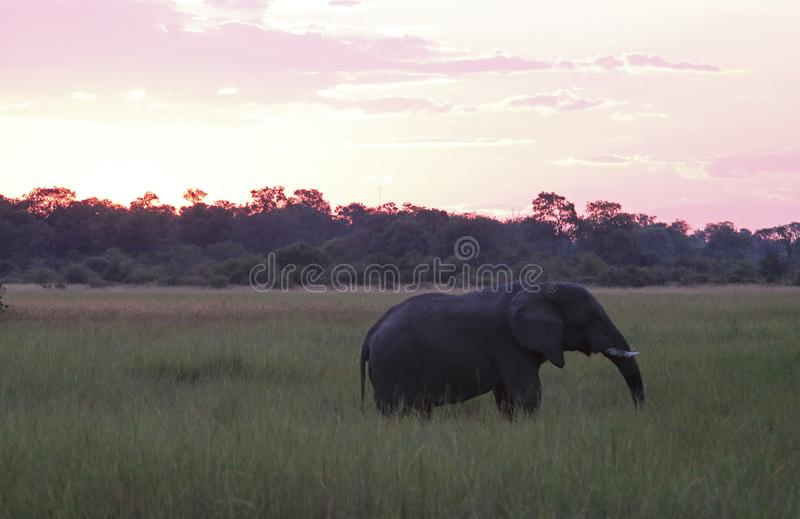 AFRICAN BUSH ELEPHANT AT SUNSET IN GREEN GRASSLAND royalty free stock photo