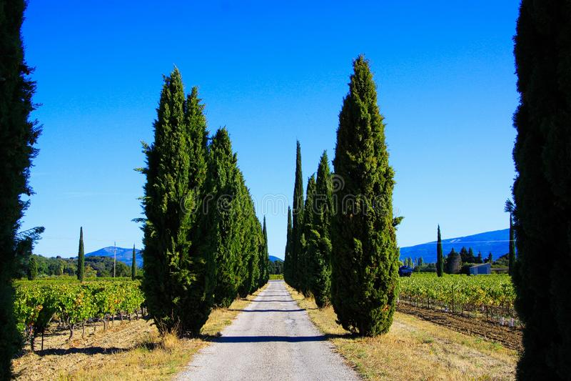 View on agricultural path through vineyard with vines and mediterranean cypress trees cupressus sempervirens in a row stock image