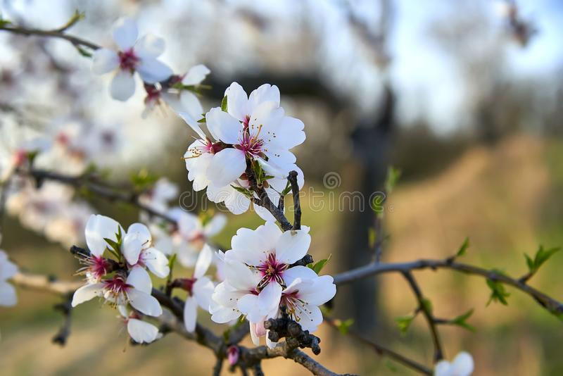 View of almond tree blooming with beautiful flowers. stock images