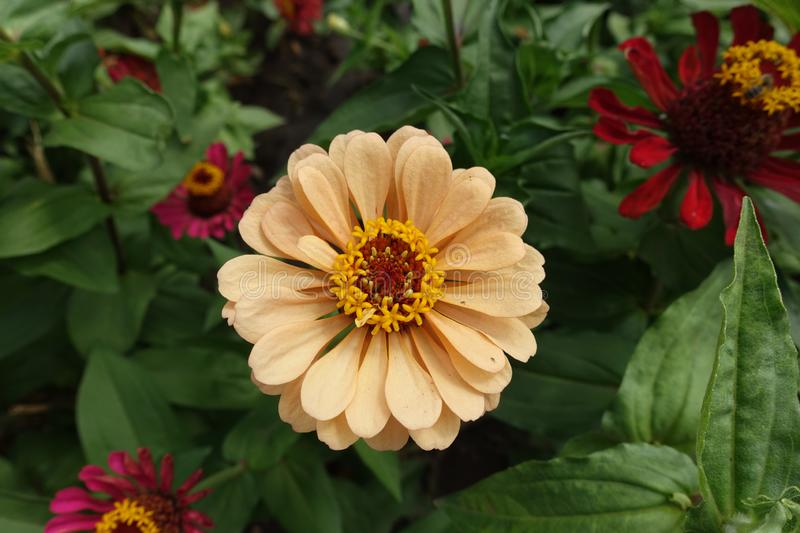 View of apricot-colored flower of zinnia from above stock photos