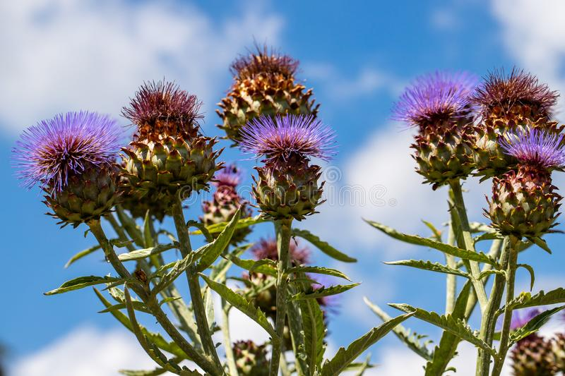 View of artichoke heads with flowers in bloom in the summer garden royalty free stock image