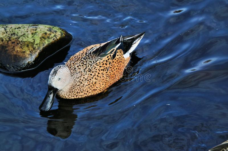 A view of an Australian Shoveler. At Martin Mere Nature Reserve stock photography