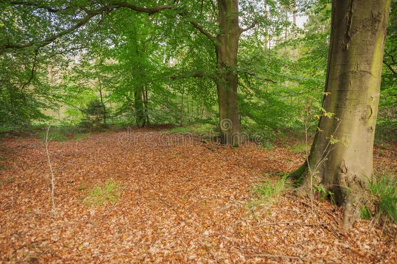 Alder wood forest in East Frisia. View into an autumnal young alder forest Alnus with a small glade and brown leaves on the foreground royalty free stock image