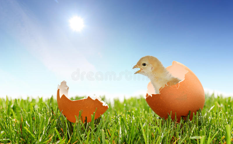 A view of a baby chicken on a grass royalty free stock images