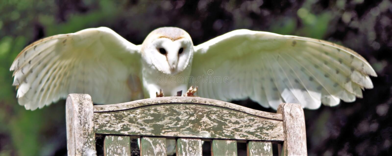 A view of a Barn Owl in flight stock photo