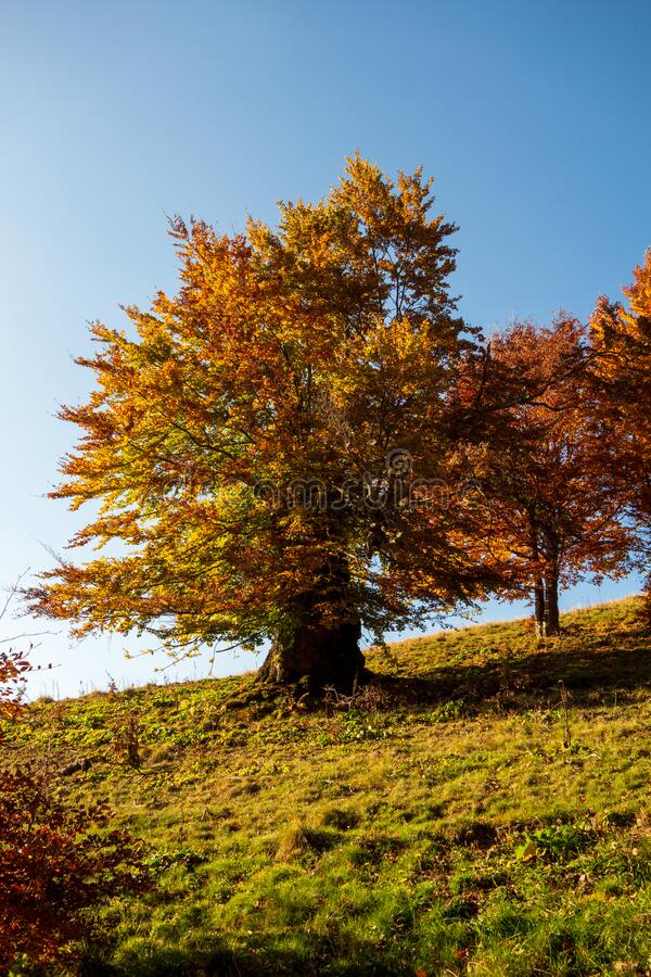 View of a beautiful colored beech tree in a sunny autumn day royalty free stock images