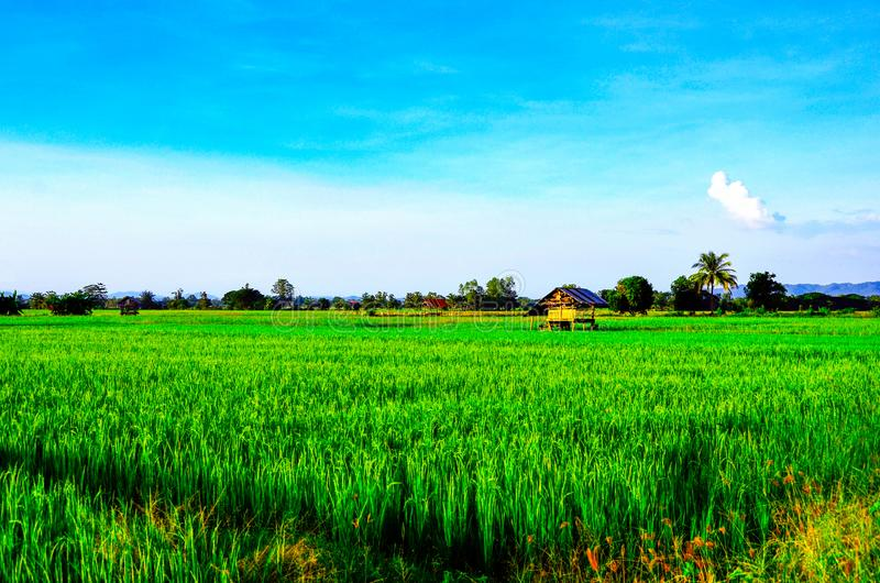 The view of beautiful green rice field with the old style cottage. Background, backdrop, card, wallpaper, agriculture, asia, architecture, beauty, blue, sky royalty free stock photography