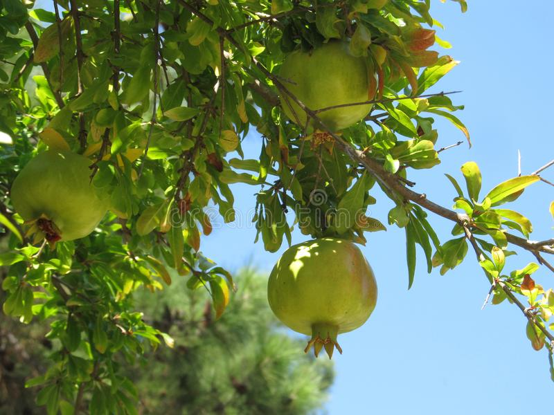 View of beautiful healthy ripening white pomegranate fruit on a pomegranate tree branch in the garden stock photo