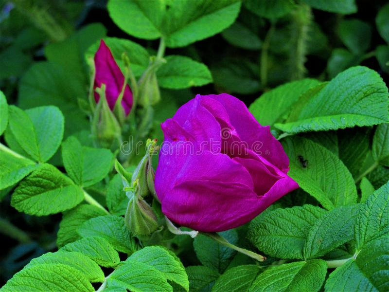 Beautiful rosehip flower close-up stock photo
