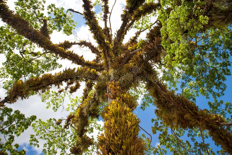 View of a beautiful tree with twining and hanging leaves of a parasitic plant against the blue sky. stock photography