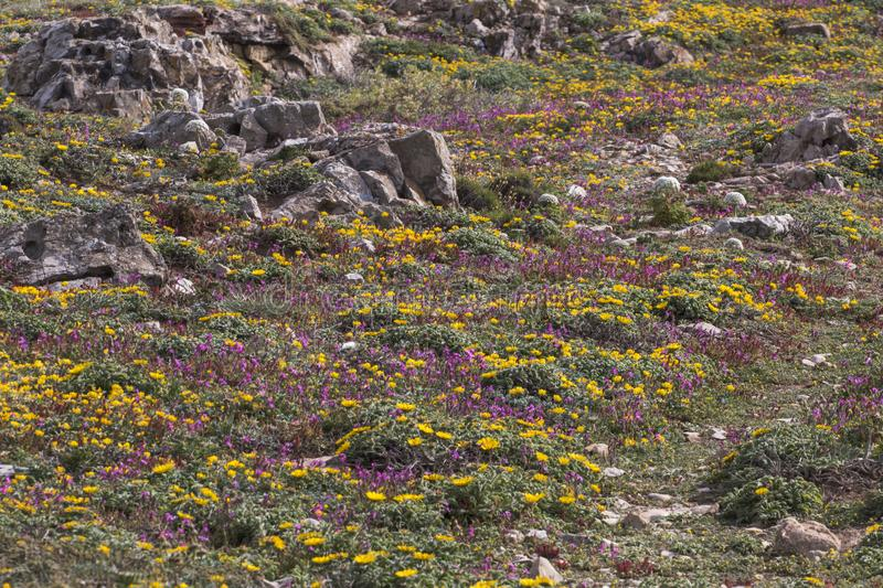 Diverse spring flora of Sagres. View of the beautiful wilderness and diverse spring flora of Sagres region, Portugal stock photo