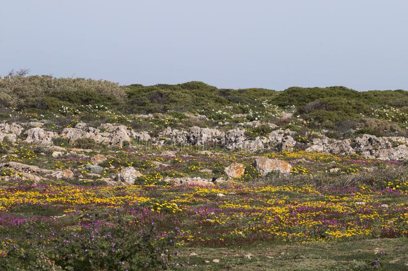 Diverse spring flora of Sagres. View of the beautiful wilderness and diverse spring flora of Sagres region, Portugal stock photos