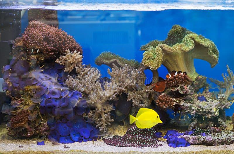 Zebrasoma salt water aquarium fish. View at beautiful zebrasoma salt water aquarium fish stock photography
