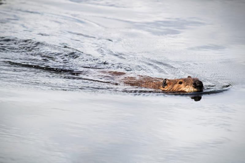 View of a beaver swimming towards the camera. A beaver swimming towards the camera royalty free stock photo