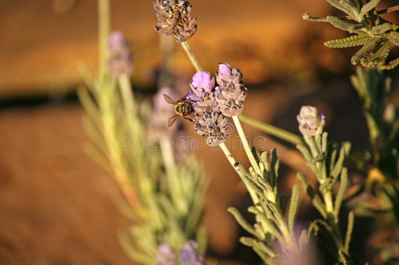 VIEW OF BEE ON LAVENDER FLOWER royalty free stock photos