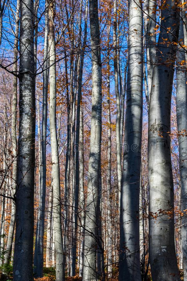 View of beech trunks or forest in autumn on a bright sunny day stock images