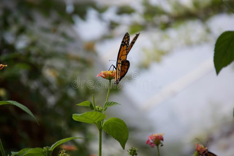 View from behind an orange, yellow and black butterfly with closed wings, sitting on a flower. An orange, yellow and black butterfly sits on a small flower royalty free stock images