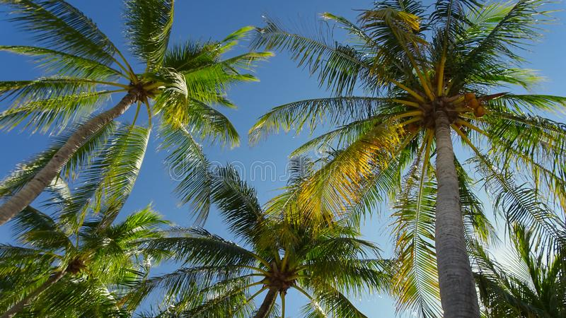 View from below of the coconuts in the palm trees. With cloudless blue sky stock photo