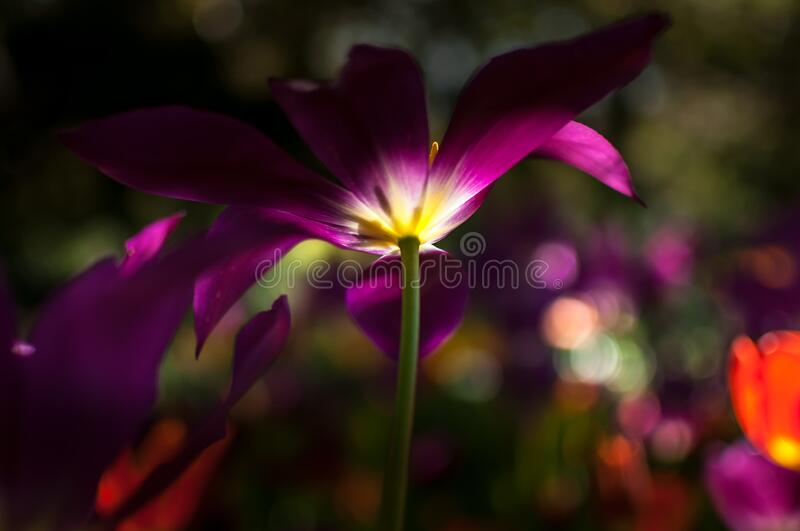 View from below of purple-yellow beautiful tulip. royalty free stock photography